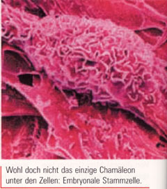 Hoffnungsträger adulte Stammzellen Max-Planck